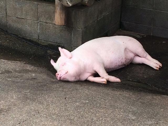 サイボクハム_寝そべる豚